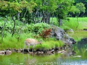 知床五湖(鹿)